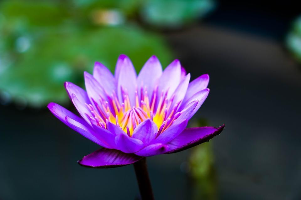 Flor de Sri Lanka - Curiosidades de Sri Lanka
