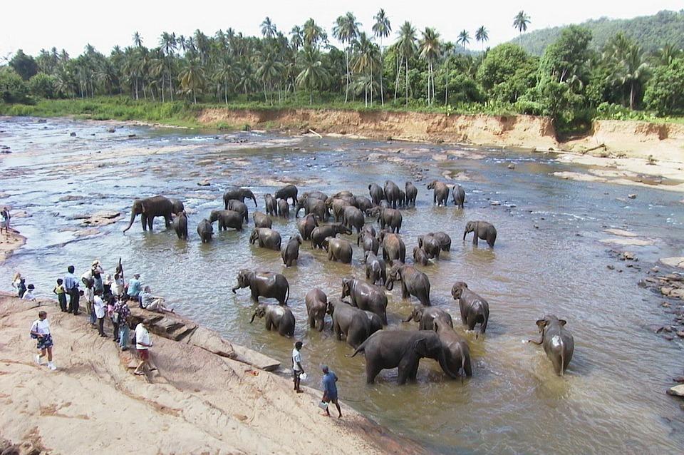Elefantes en Pinnawala - Curiosidades de Sri Lanka