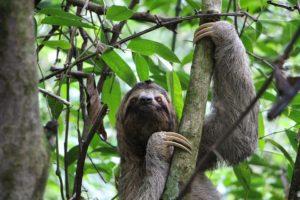 Perezoso en Costa Rica
