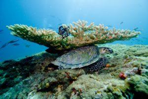 Tortugas entre los corales