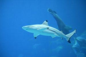 tiburones en Maldivas - mejores playas para hacer snorkel