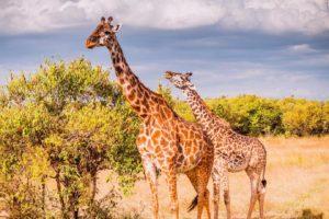 Jirafas en un safari