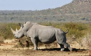 Rinoceronte - mejor época para viajar al masái mara