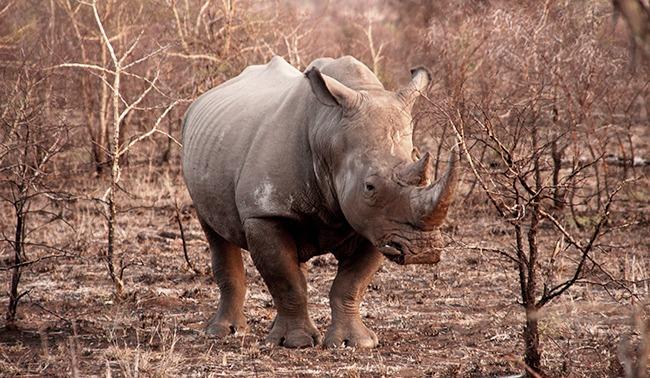 Sudafrica-Rinoceronte-ParqueNacionalKruger-GrandVoyage