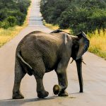 Sudafrica-elefante-Parque Nacional Kruger-GranVoyage