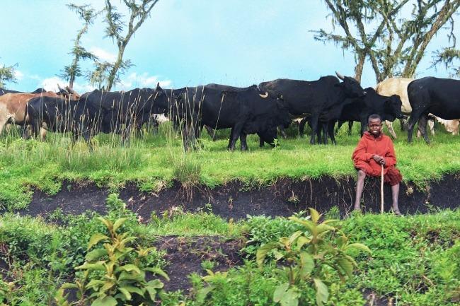 Kenia - Tanzania - ganado de la tribu