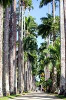 Palemeras en el Jardín botánico de Rio de Janeiro