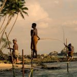 Pescadores zancudos de Sri Lanka3