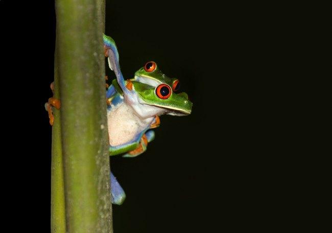 Rana de ojos rojos en Monteverde