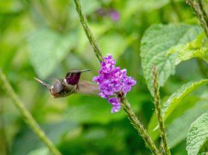 colibrís